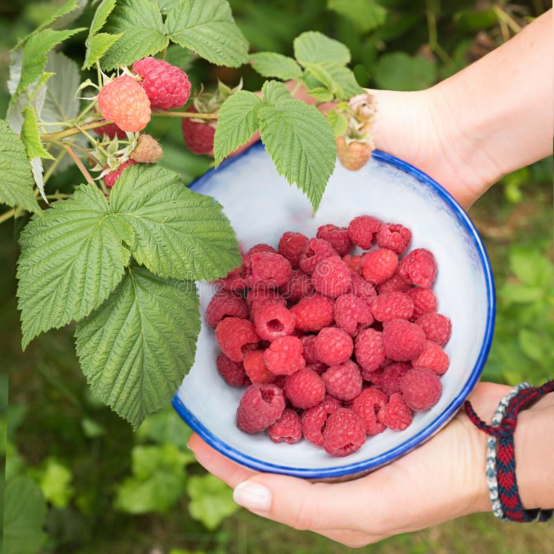 Young woman holding a self-styled ceramic bowl with picked raspberries, berry branch in the garden. Young woman holding a self-styled ceramic bowl with picked royalty free stock photo