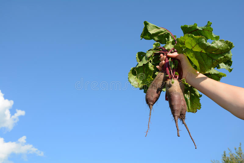 Young woman holds a beet in against of a blue sky royalty free stock image