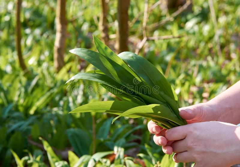 A young woman holds in her hand a bundle of leaves wild garlic. On the outdoor with green blurred background royalty free stock image