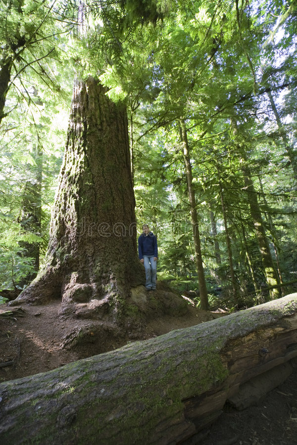 Young Woman Next To Giant Douglas Fir Stock Images