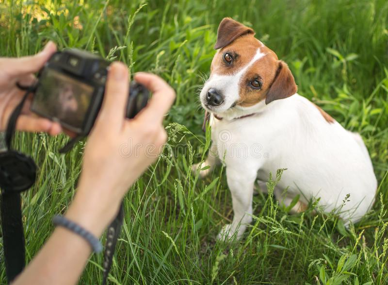 Young woman photographer taking a photo of sitting small dog jack russel terrier outside in green summer park in grass stock photo