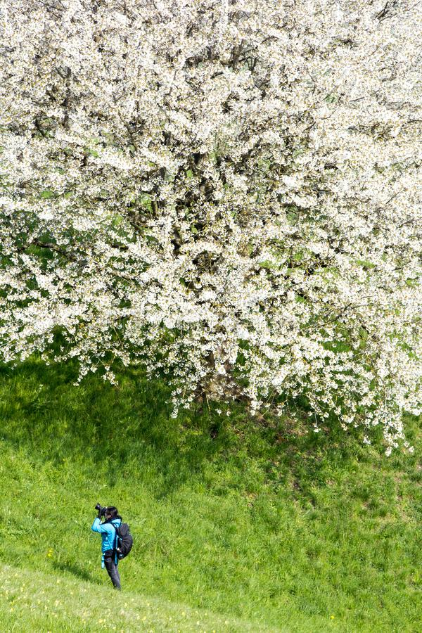 A young woman is photographing a huge blooming cherry tree stock photography