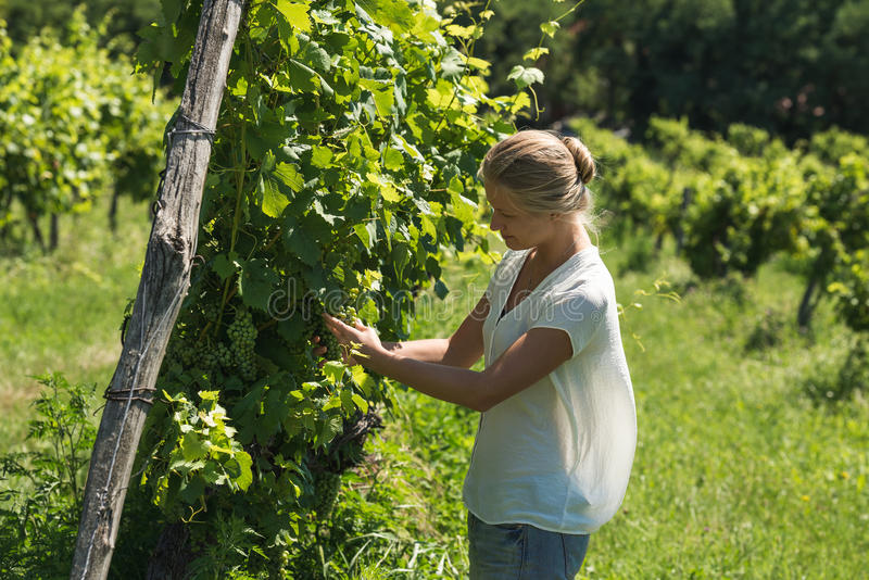 Young woman picking grapes harvest at vineyard on sunny day stock photo
