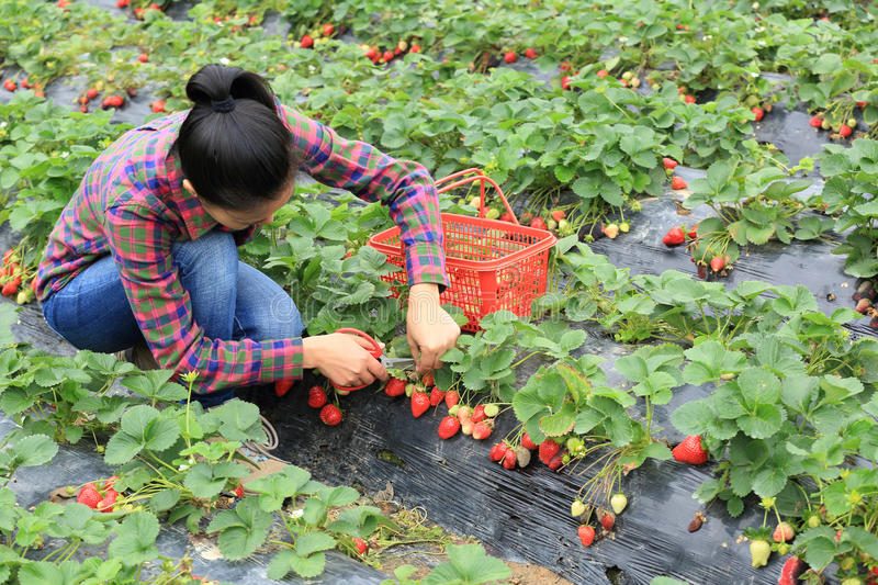 Young woman picking red strawberry stock images
