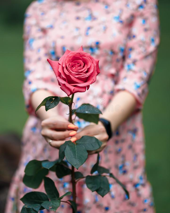 Young woman in a pink dress holding little pink rose in her hands. Close-up royalty free stock image