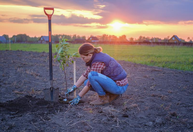 A young woman planting an Apple tree in the garden near the house stock image