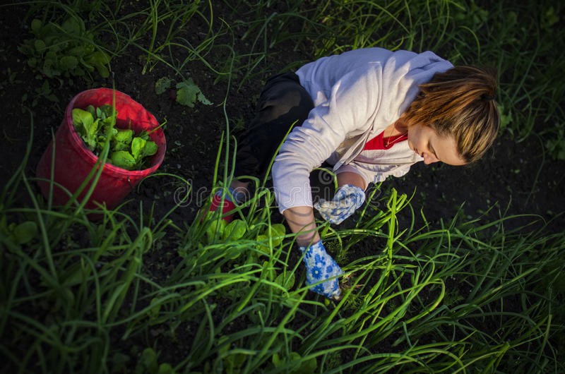 Young woman pulling weeds royalty free stock images