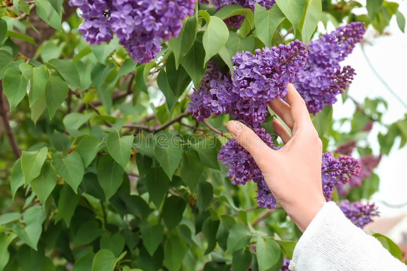 Young woman reaching for blossoming lilac outdoors. On spring day stock photography
