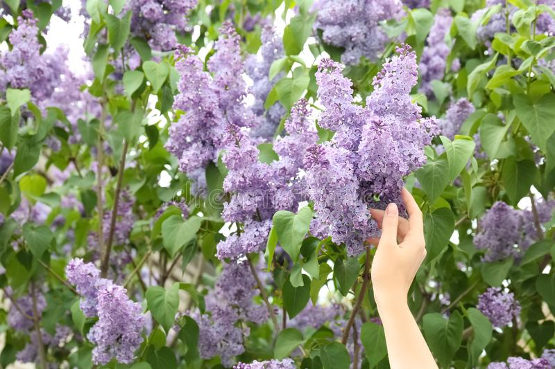 Young woman reaching for blossoming lilac outdoors. On spring day royalty free stock photos
