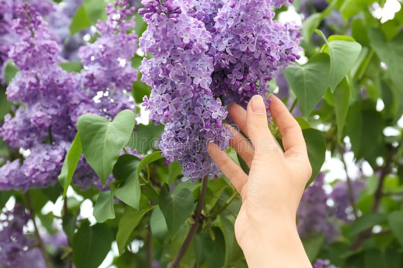 Young woman reaching for blossoming lilac outdoors. On spring day royalty free stock image