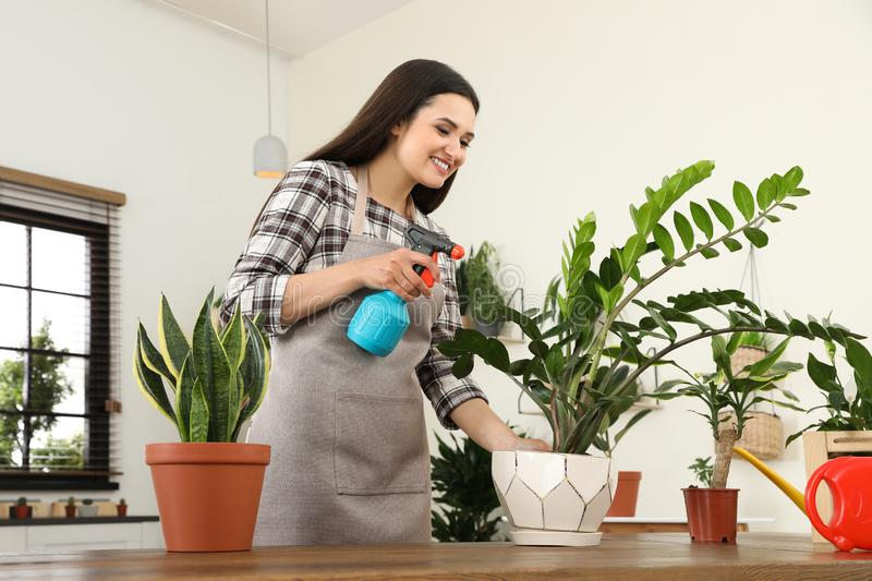 Young woman spraying plant with water. At home royalty free stock photography