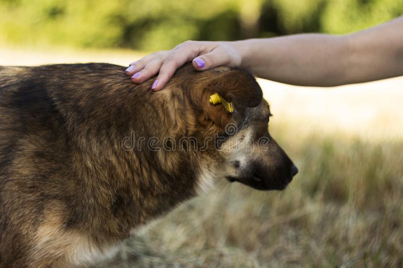 A young woman stroking a dog. The happy animal rejoices, the concept of love and friendship.  royalty free stock photos