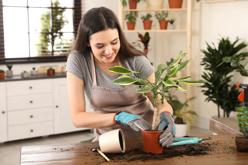 Young woman taking care of plant royalty free stock image