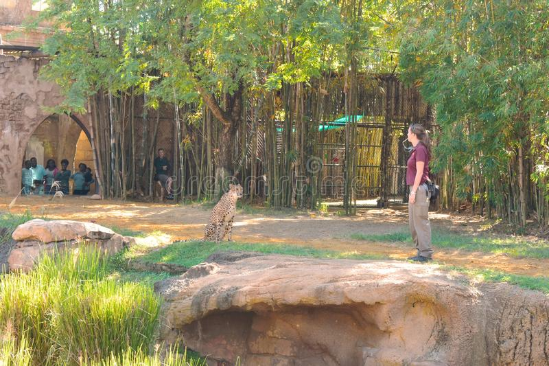 Young woman training Cheetah before the eyes of a group of people and employees at Bush Gardens stock photos