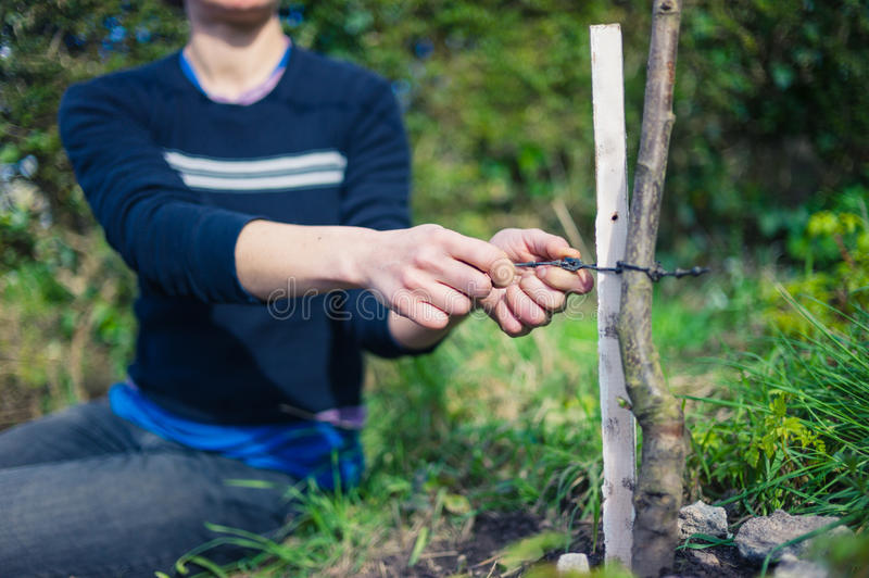 Young woman tying tree to stake stock images