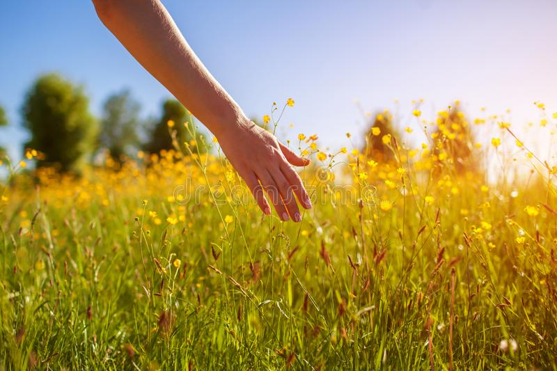 Young woman walking in spring field at sunset among fresh grass and touching yellow flowers stock images