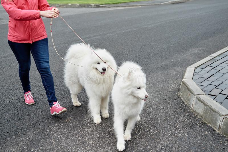Young woman walking with two white samoyed dogs in summer park outdoors, copy space. Dog walker stock photography