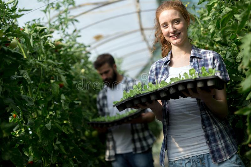 Young woman working in a greenhouse stock photography