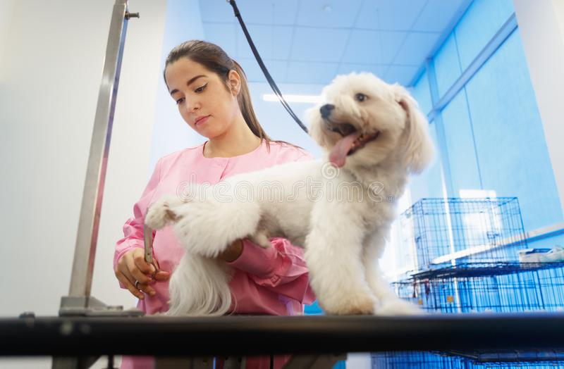Girl At Work In Pet Store And Grooming Dog. Young woman working in pet shop, trimming dog hair, girl grooming puppy for beauty in store. People, jobs royalty free stock image