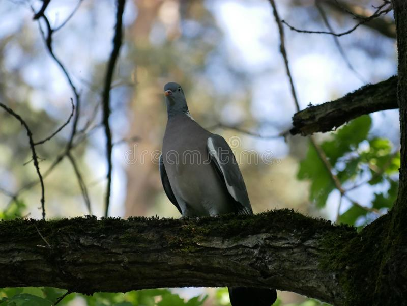 Young wood pigeon sitting on a branch covered with moss. Sunny summer day in the forest. stock photography