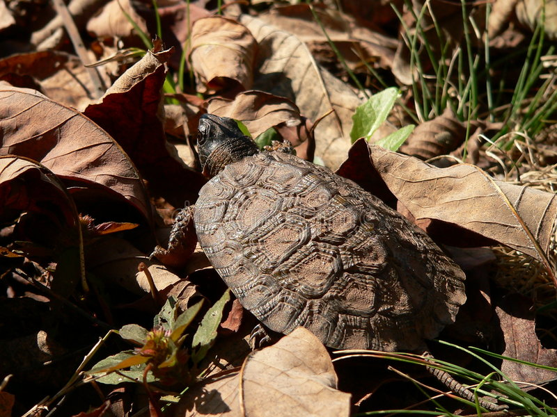 Download Young Wood Turtle 05 stock photo. Image of ancient, rare - 305128