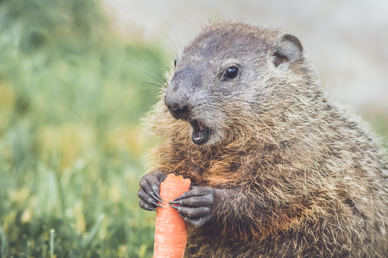 Young Woodchuck Marmota Monax holding carrot low stock photos