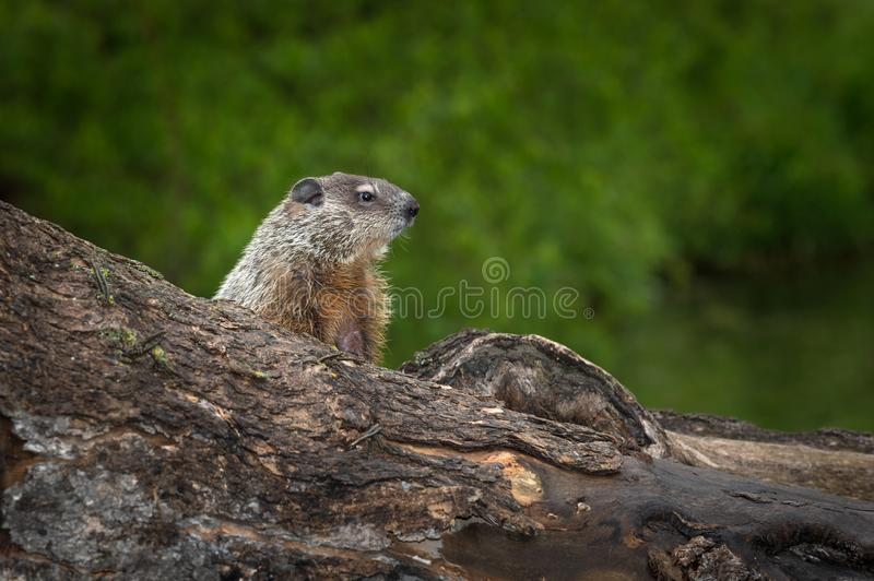 Young Woodchuck Marmota monax Intently Looks Right royalty free stock photo