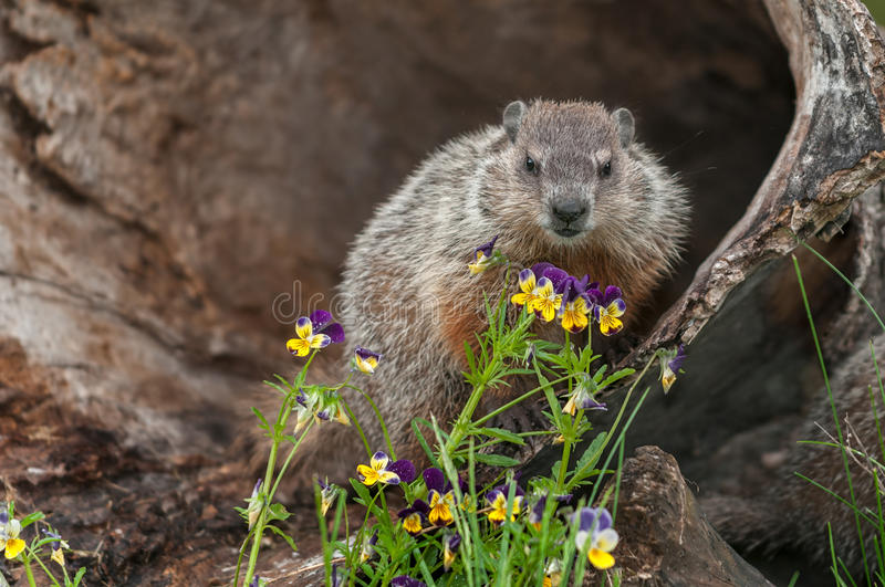 Young Woodchuck Marmota monax Looks Out From Behind Flowers royalty free stock photos