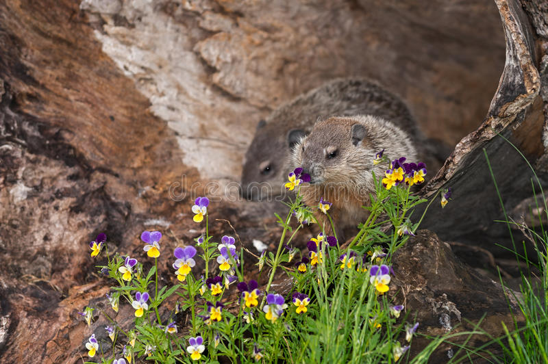 Young Woodchuck (Marmota monax) Sniffs at Flowers stock images