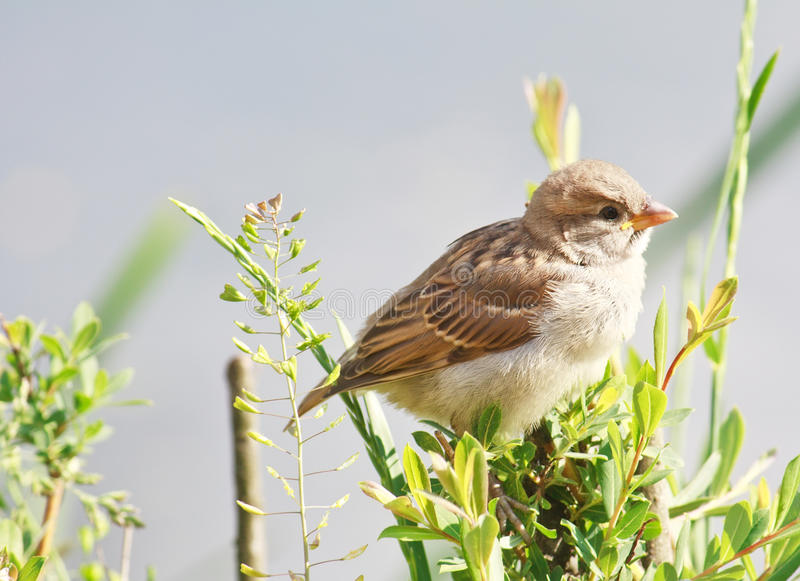 Young yellow-beaked sparrow