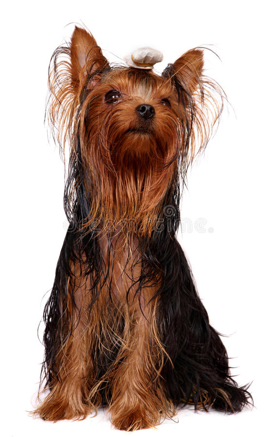 Download Young Yorkie With Oily Hair Stock Photo - Image: 12973098