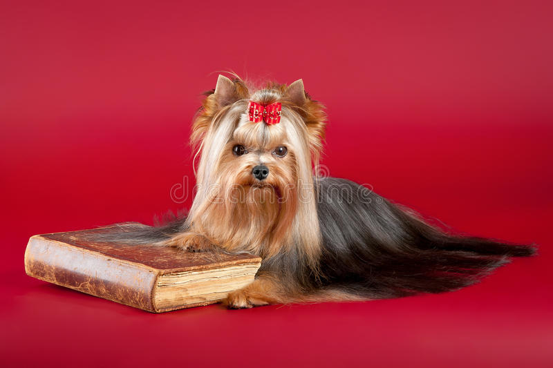 Download Young Yorkie with old book stock image. Image of domestic - 21892671