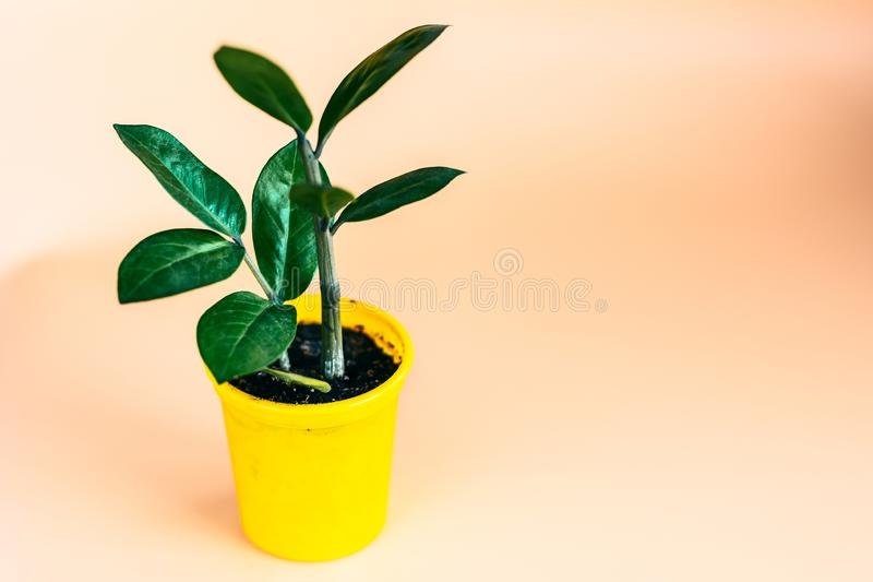 Young Zamioculcas plant in decorative yellow pot with orange background stock photo