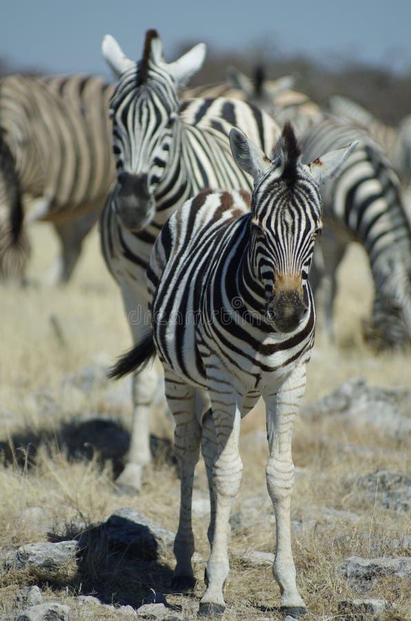 Free Young Zebra Royalty Free Stock Photos - 21059668