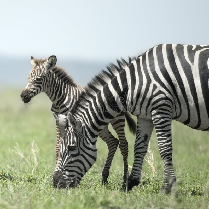 Free Young Zebra And His Mother At The Serengeti Royalty Free Stock Image - 7025626