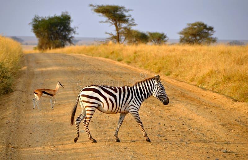 Download Young Zebra Crossing Road With Antelope On Safari Stock Image - Image of herd, kenya: 27090833