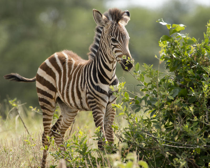 Young zebra foal stock photos