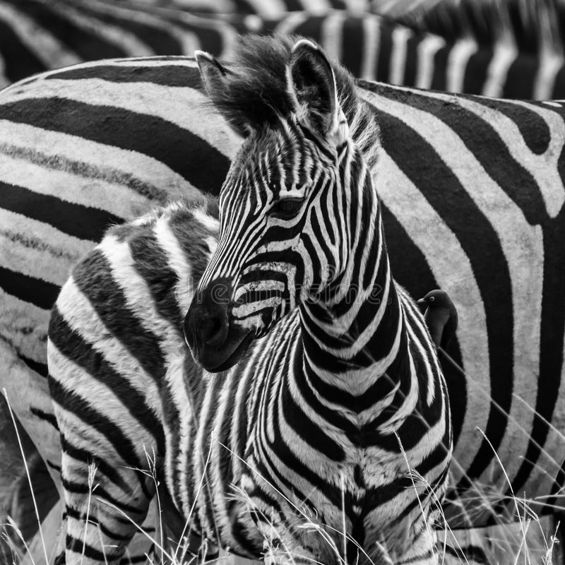 Zebra Foal in Monochrome. A young zebra foal surveys its surroundings against the backdrop of the herd. A confusion of stripes stock image