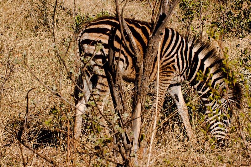 Young zebra grazing stock image