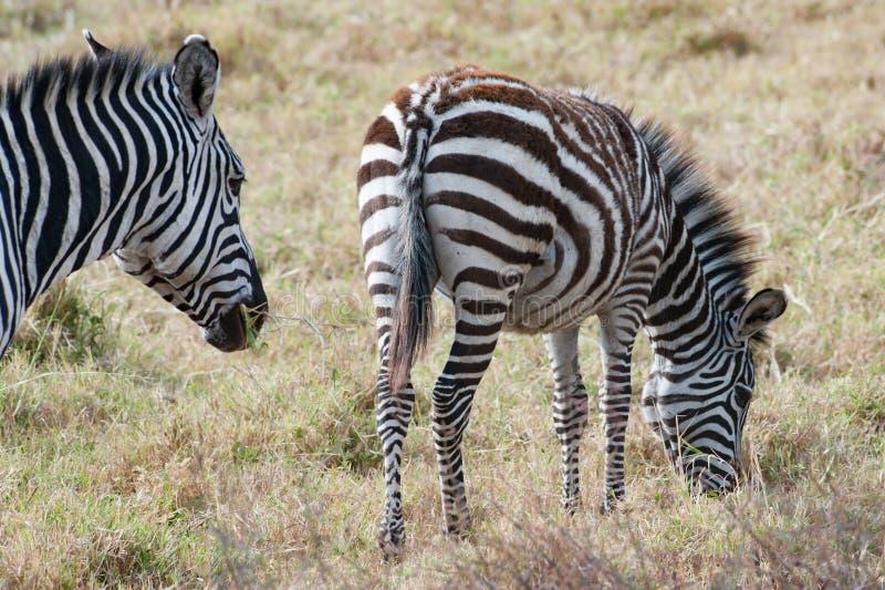 Zebra with foal, Zebra with baby, young zebra with soft fur in Serengeti Plain, Tanzania stock photos