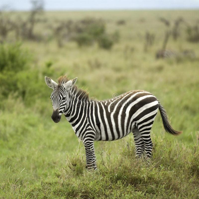 Free Young Zebra In The Serengeti Plain Royalty Free Stock Photography - 7137357