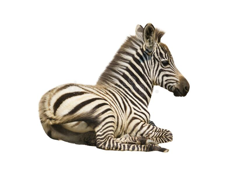 Young zebra isolated royalty free stock photos