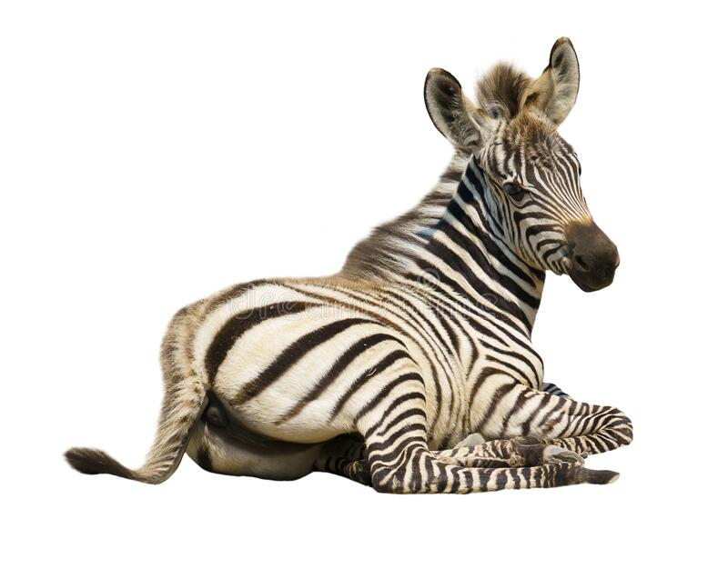 Young zebra isolated stock photos