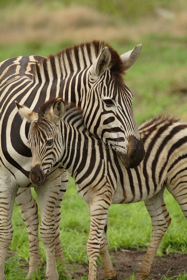 Young zebra with mum stock images