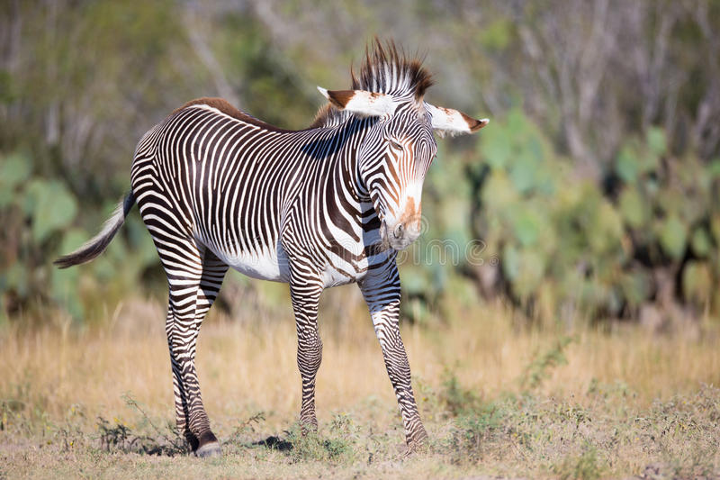 Young zebra playing during the morning stock photos
