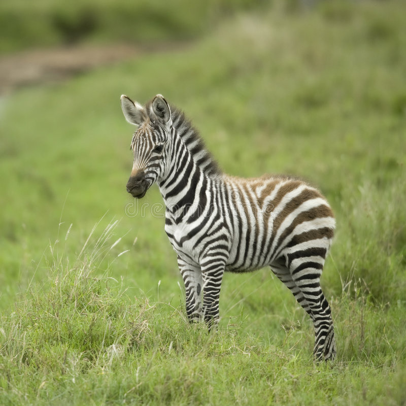 Young zebra in the serengeti plain royalty free stock photography
