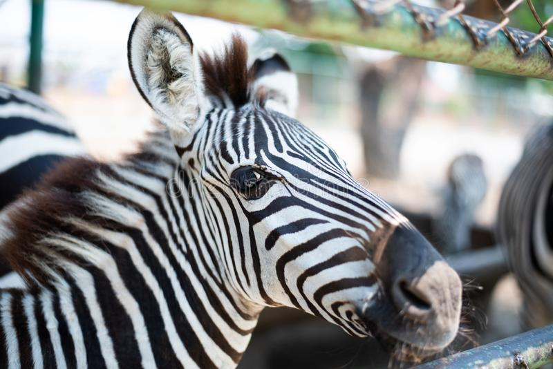 Young zebra stand for people feeding food. In zoo stock images