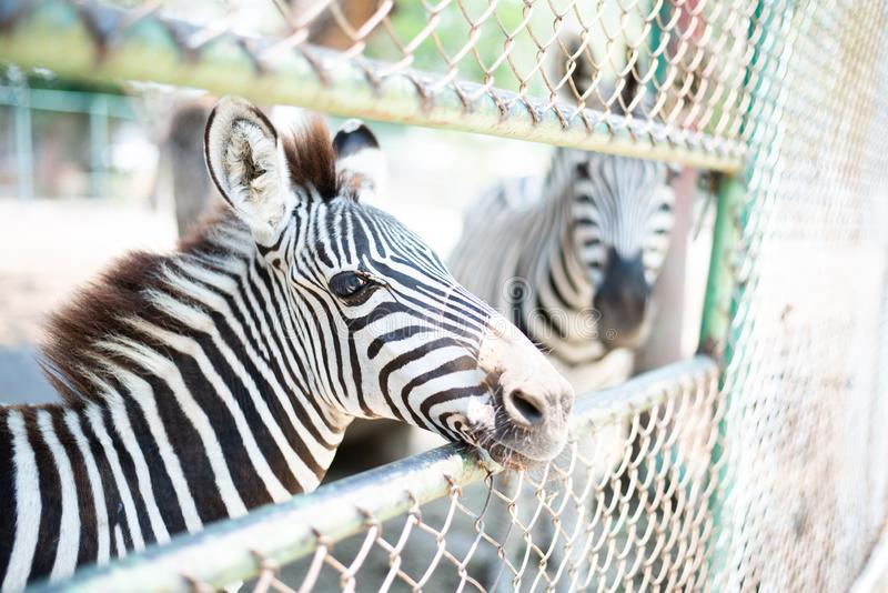 Young zebra stand for people feeding food. In zoo stock photo