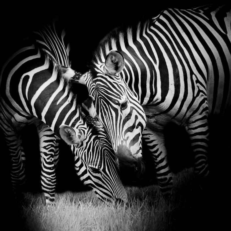 Free Young Zebra With Mom Stock Image - 50204031