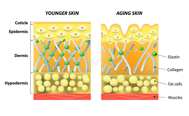 Younger skin and older skin vector illustration